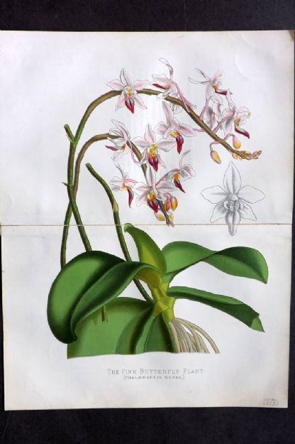 Cassell C1890 Antique Botanical Print. Pink Butterfly Plant. Philippines Orchid